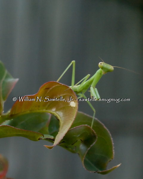 Mantis on crape myrtle leaf