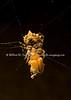 Spider consuming bug