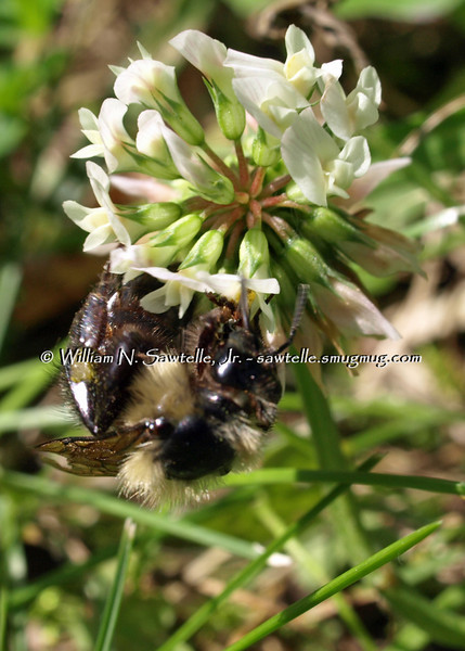 Bees and clover. Now where can I get some honey?