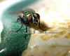 Green Bottle Fly - This guy was very patient with me.