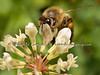 Honey Bee on Clover