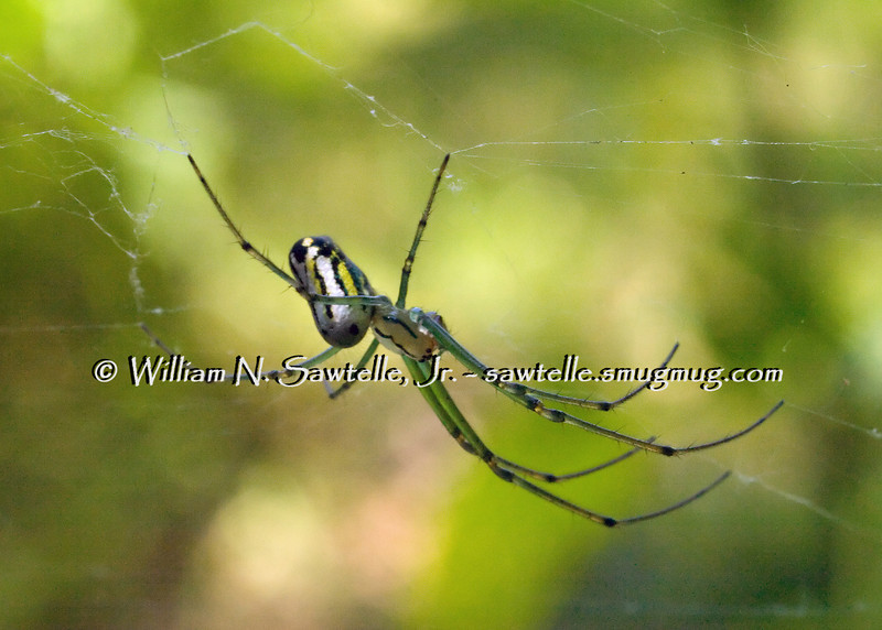 Orchard Web Spider - Leucauge Venusta