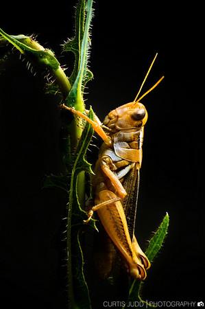 Grasshopper-2