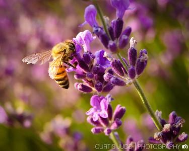 Honey Bee-1