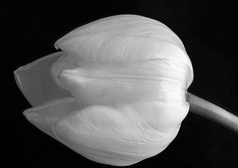 Tulip (B&W conversion)