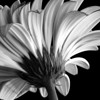 Gerbera Daisy (B&W conversion)
