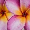 Plumeria Blooms