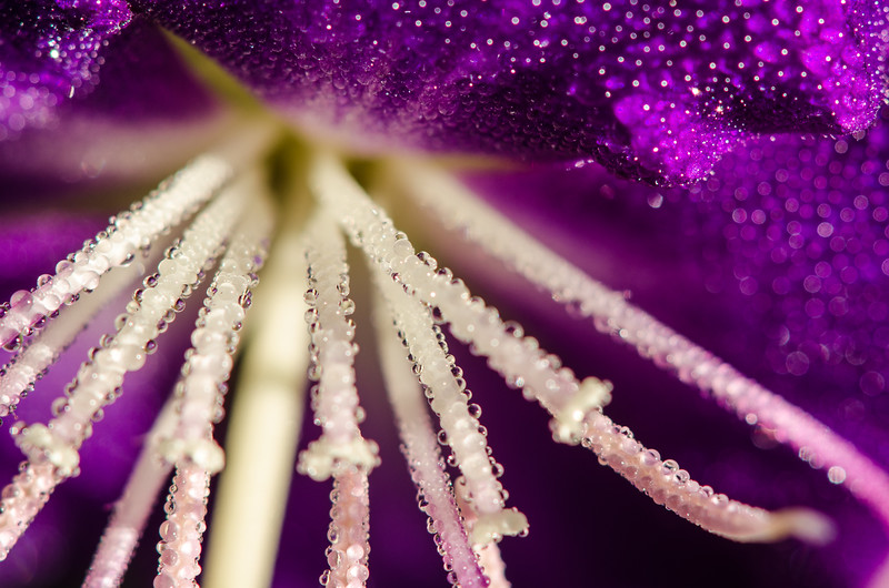 Morning dew on a Tibouchina flower
