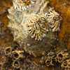 Acorn barnacles on a limpet