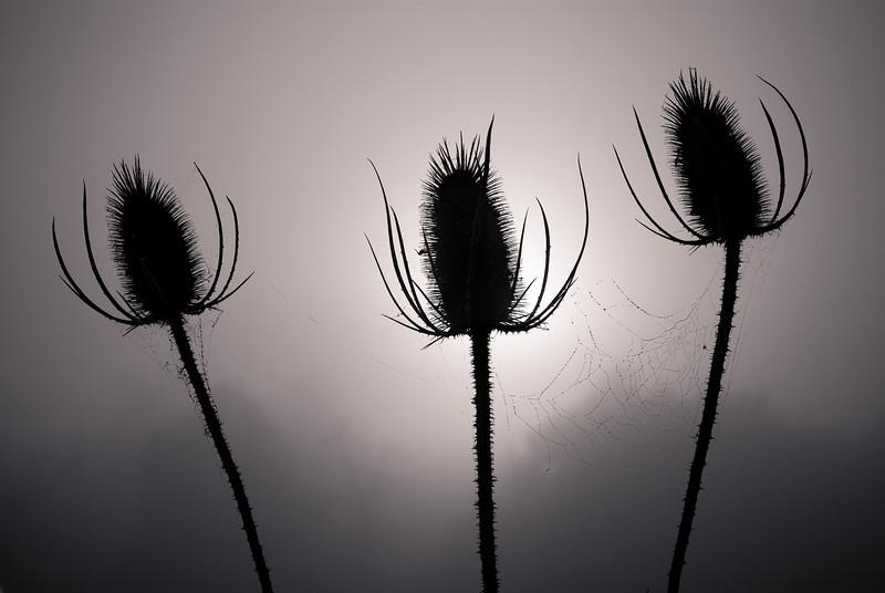 Teasel trio<br /> The sun was rising through a thick mist