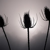 Teasel trio<br /> The sun was rising through a thick mist