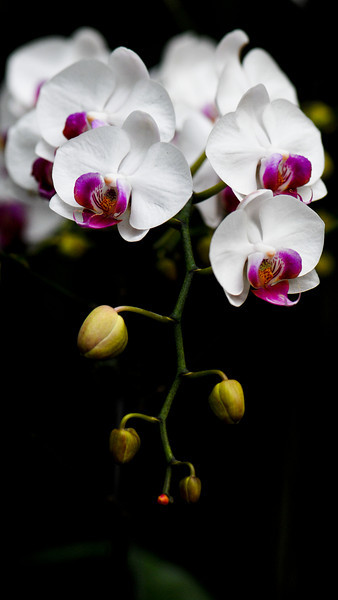 orchids-1602
