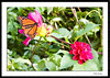 Butterfly among the flowers of Fort Tryon Park, NYC.