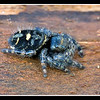 Jumping Spider on a log