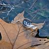 Leaf incased in ice