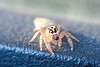 This little jumping spider is about 4mm long and I've used a 50mm 1.8 plus extension tubes to get in closer