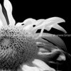 Single raggedy sunflower in monochrome