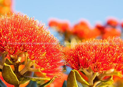 Pohutukawa, the New Zealand Christmas Tree. Red on Blue.