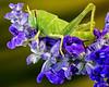 Grasshopper on salvia, La Mesa, CA