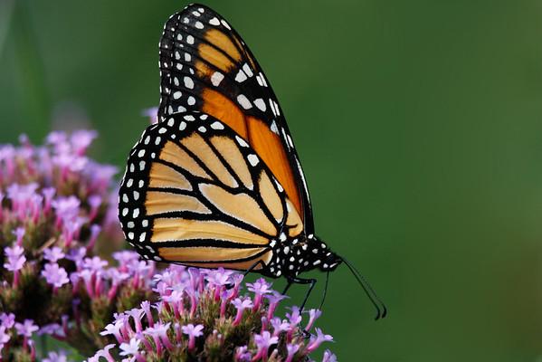 Monarch.  Cox Arboretum, Dayton, Ohio.