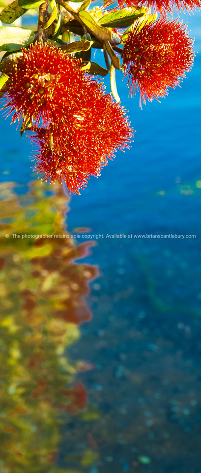 Pohutukawa, the New Zealand Christmas Tree overhanging and reflected in calm blue water. Red on Blue.