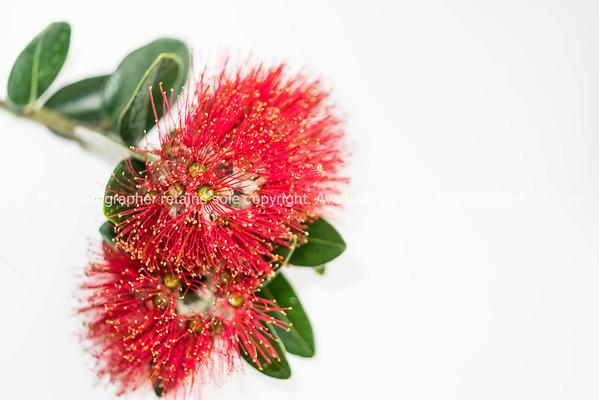 Red pohutukawa flower on white