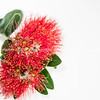Red pohutukawa flower on white