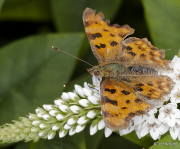 _MG_3975 Comma (Polygonia c-album)