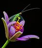 Green Lacewing on flower, La Mesa, CA