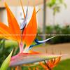 Strelitzia reginae, or bird of paradise flower.