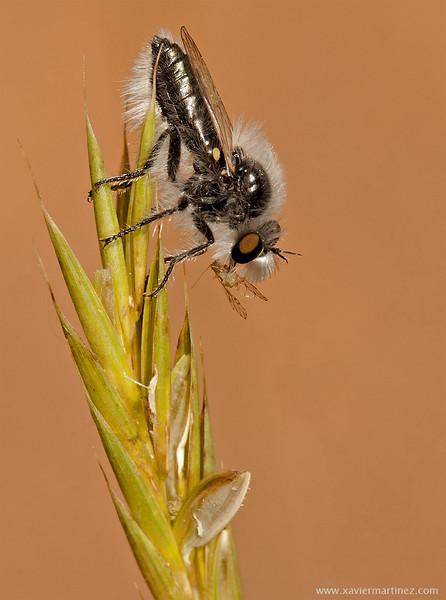 "Eriopogon laniger (Meigen, 1804) <font size=""1""><i>clic en la foto para ampliar · click in the image to enlarge"