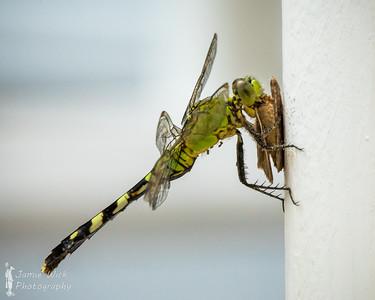 Eastern Pondhawk eating a moth