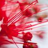Red flower macro, pohutukawa stamen close-up in selective focus