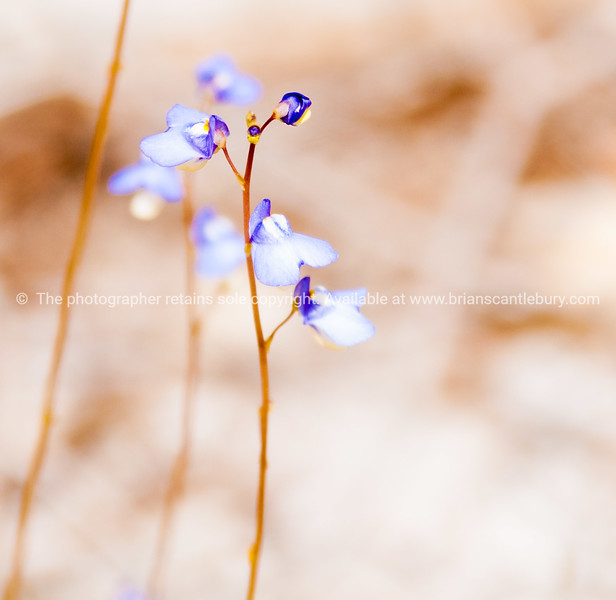 Tiny blue and yellow flower.