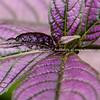 Leaf patterns of Begonia brevirimosa.