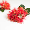 New Zealand Christmas tree or pohutukawa bright red flower