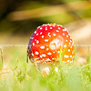 Amanita muscaria, commonly known as the fly agaric or fly amanita mushroom.