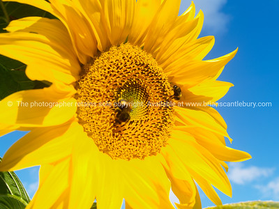 Sunflower macro.