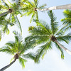 Coconut palms from below.