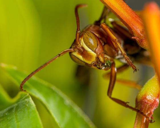 Wasp on Firebush