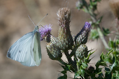 Small white butterfly (Pieris rapae)on a thistle - not suitable for printing