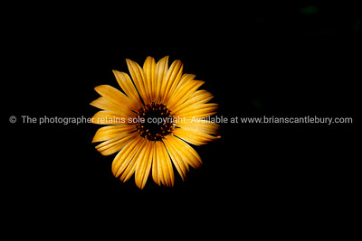Yellow flower on black background.