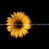Yellow flower on black background.
