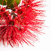 Pohutukawa flower on white.
