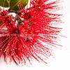 Pohutukawa flower closeup