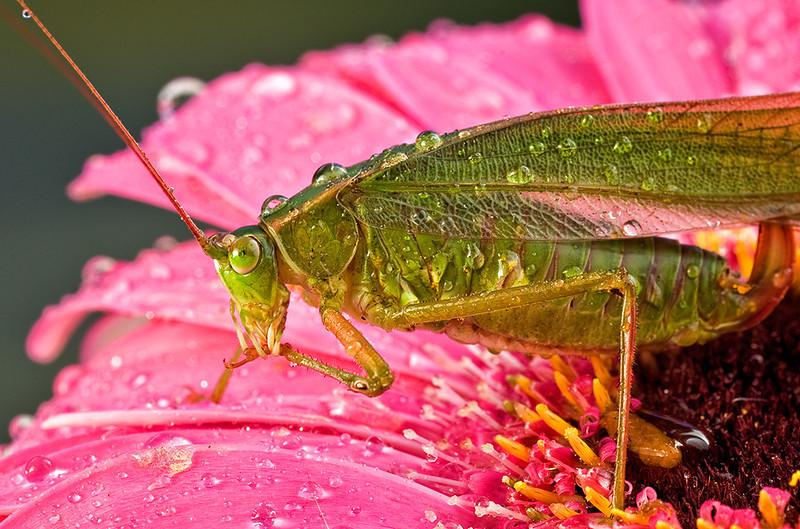 Adult katydid on flower, La Mesa, CA