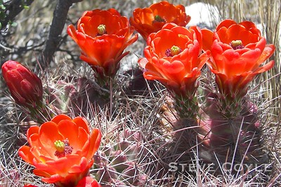 Cactus flowers in full bloom at Guadalupe Mountains National Park