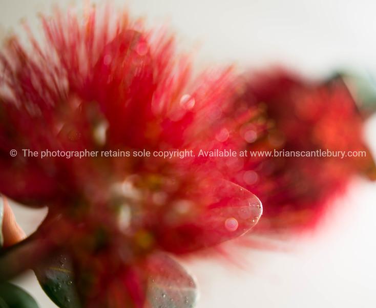 New Zealand Christmas tree or pohutukawa bright red flower