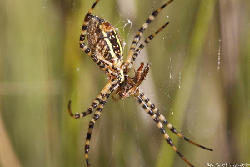 Black-and-yellow Argiope with breakfast.