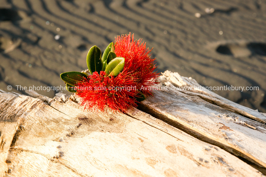 Pohutukawa on log
